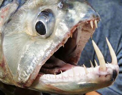 Hydrocynus Goliath Il Pesce D Acqua Dolce Pi 249 Mostruoso E