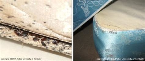 where can bed bugs live bed bugs entomology
