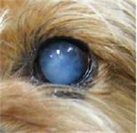 blue film on dogs eyes my dog went the groomers yesterday and i notice her eye