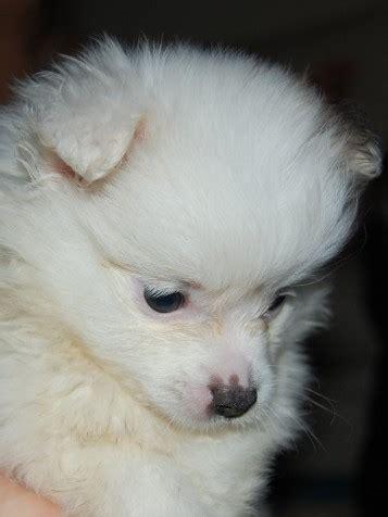 7 week pomeranian constance 7 week pomeranian for adoption