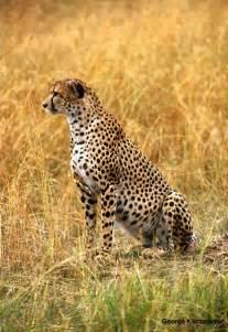 How Do Jaguars Protect Themselves Jaguars