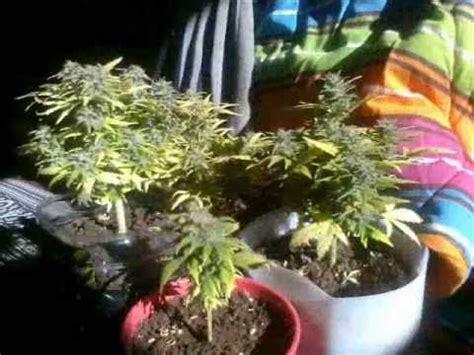 armario de cultivo casero wseguimiento marihuana autoflorecientesmarihuana indoor youtube