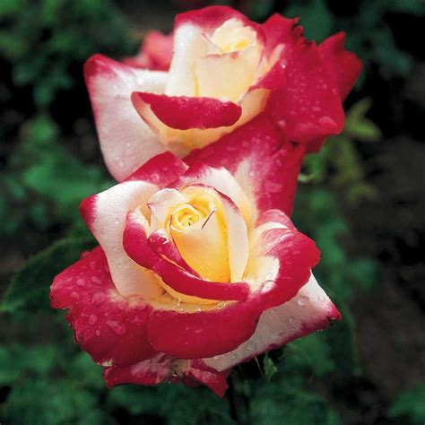 double delight   tree rose