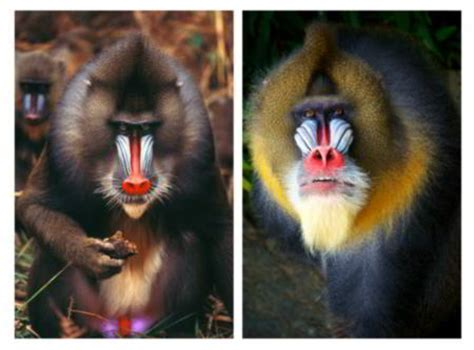 facts   astoundingly colorful mandrills