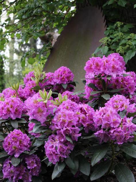 flowering shrubs for shade gardens hgtv