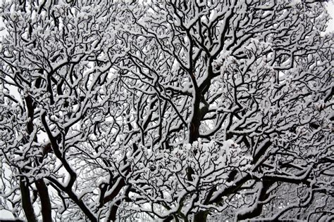 snow covered tree close up mandy jones photoblog