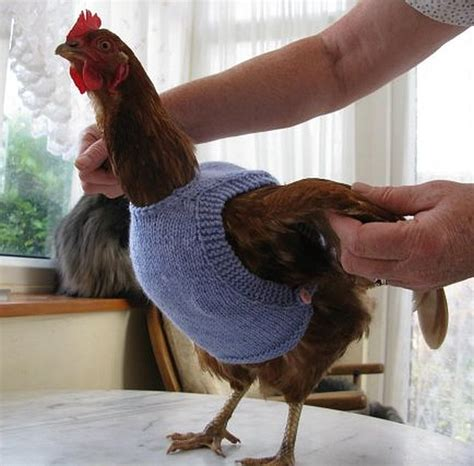 Knitting Pattern Chicken Sweater | coop trends cute and colorful knitted chicken sweaters