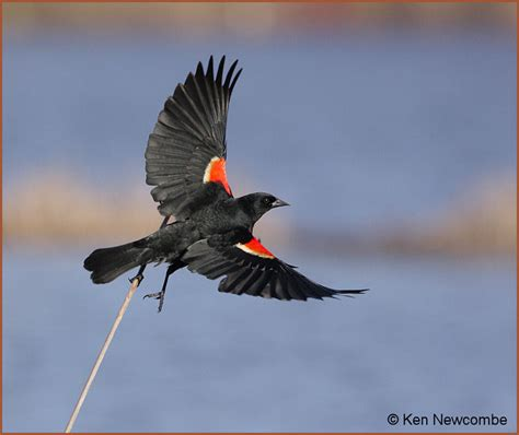 best 28 what do winged blackbirds eat avian images