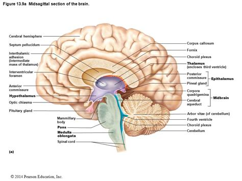 midsagittal section of the head the central nervous system ppt download