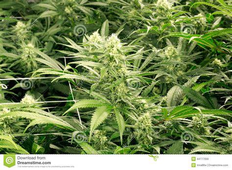fiore marijuana germogli di fiore della marijuana immagine stock
