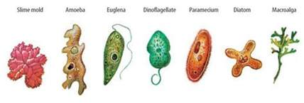 List Of Plant Diseases Caused By Bacteria - different types of protozoans images frompo 1