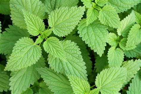 nettle images stinging nettle poisoning in dogs symptoms causes