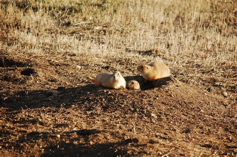 prairie plague plague riddled prairie dogs a model for infectious disease spread