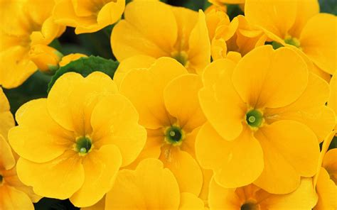 yellow flower wallpaper for walls yellow flowers wallpapers hq