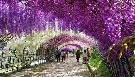 wisteria flower tunnel in japan 25 great places you haven t seen or heard about photos educating humanity
