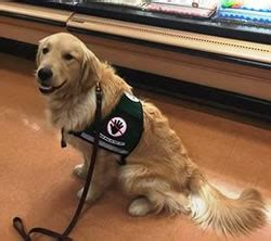 retired golden retriever service dogs for adoption circle assistance college and in home