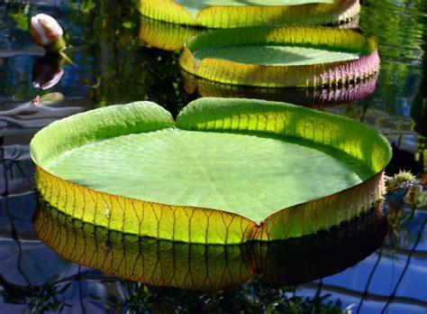 by vicpeters own work cc by sa 3 0 via photographies de n 233 nuphars images de la plante aquatique