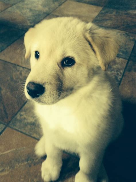 labsky puppy 19 best images about labsky on lab puppies huskies puppies and