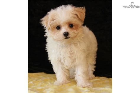 maltipoo puppies for sale near me malti poo maltipoo puppy for sale near tulsa oklahoma fbf1a64d ee51