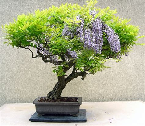 bonsai secrets designing growing 0762106247 tips for growing bonsai trees