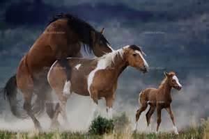 Wild horses breeding randy olson and melissa farlow
