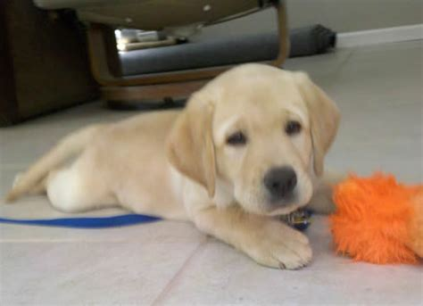 puppy not why guide puppies should not be confused as sniffer dogs