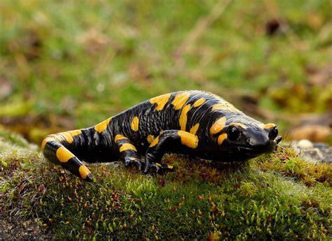la salamandra fauna en 8498254493 fauna de la serran 237 a de ronda salamandra com 250 n salamandra longirostris diario ronda