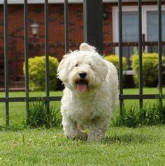 mini doodles hereford 1000 ideas about f1b goldendoodle on standard