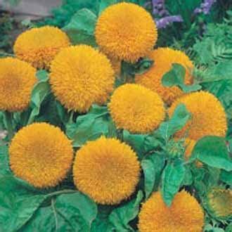 Jual Bibit Bunga Matahari Palembang jual bibit bunga matahari teddy benih biji
