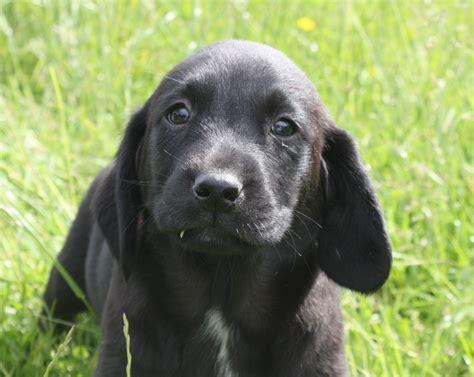springador puppies springador pups abergavenny monmouthshire pets4homes