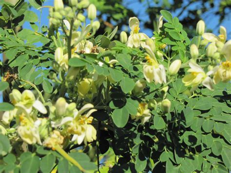 A Tree Miracle Free Miracle Tree Food Moringa O Malunggay N Buttery Pili Nut Food Gifts Of