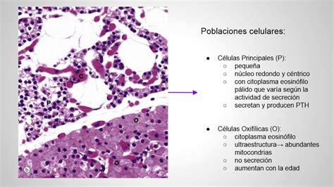 glandula submaxilar anatomia la glandula paratiroides youtube