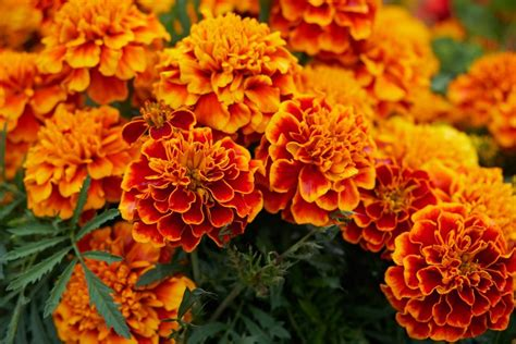 growing marigolds planting caring for marigold flowers