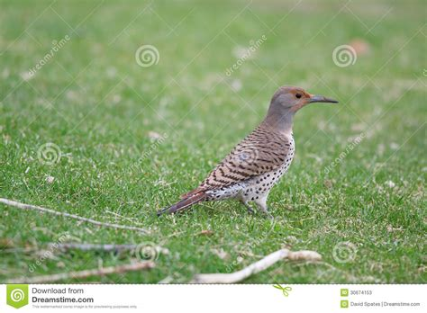northern flicker colaptes auratus stock photos image