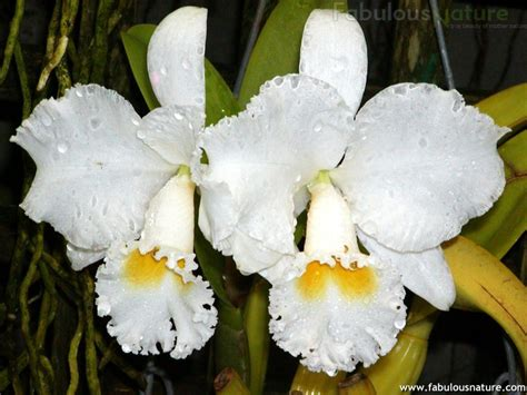Orchids Pictures   White Orchids   Orchids Wallpapers