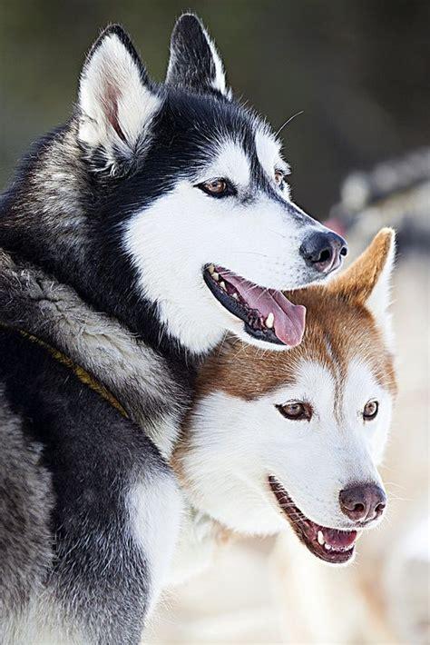 7 Facts On Huskies by Best 10 Siberian Husky Facts Ideas On