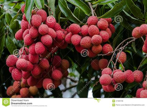 fruit similar to lychee lychees on tree stock photo image 47320736
