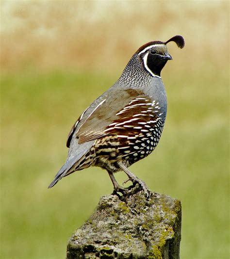 quail history and some interesting facts