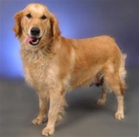 golden retriever puppies cost in india golden retriever puppy price range in india dogs in our photo
