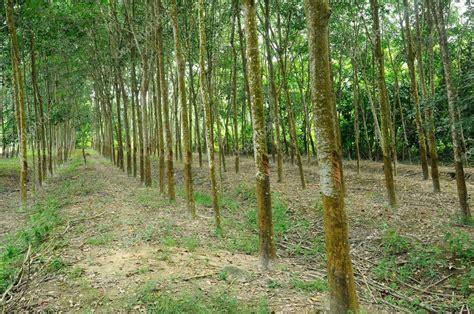 rubber tree st マラッカ マレーシアのゴム製木または hevea brasiliensis プランテーション ストック写真 169