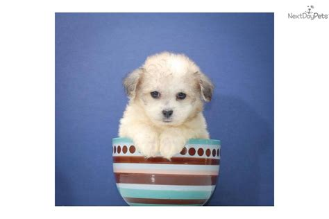 teacup havanese price havanese puppy for sale near columbus ohio 13f62d90 a401