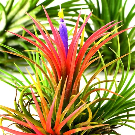 buy air plant tillandsia ionantha 163 5 99 delivery by crocus