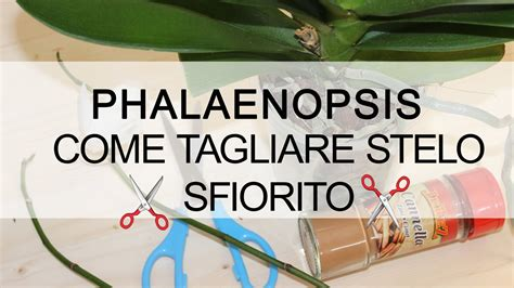 come potare le orchidee in vaso orchidea phalaenopsis come tagliare stelo sfiorito