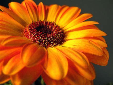 gerber daisies gerber daisies