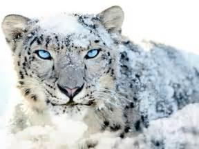 Snow leopard indiawires