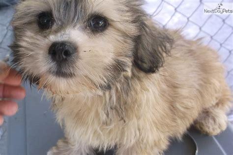 havapoo puppies for adoption havapoo puppy for adoption near okaloosa walton florida 18d3cda8 4b52