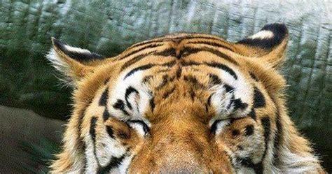 desain gambar harimau 25 gambar harimau yang lucu sealkazz blog