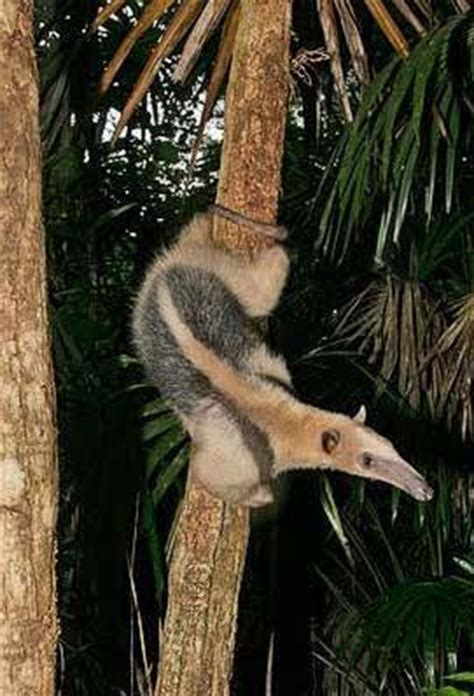 tamandua  collared anteater belize animals caribbean critters