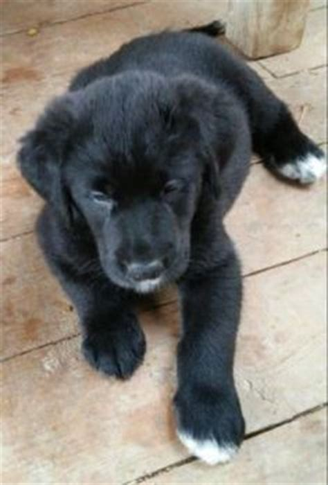 pyrador puppies for sale 1000 images about pyrador on great pyrenees pyrenees and lab mixes