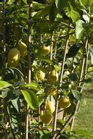 foglie gialle limone vaso albero di giada con foglie ingiallite deitranet